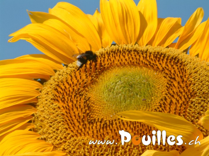 de-tournesol-photo-pouilles_167