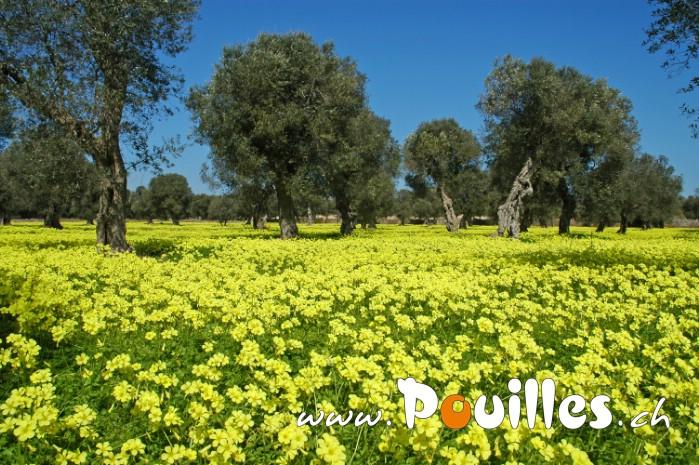 oliviers-des-fleurs-photo-pouilles_077