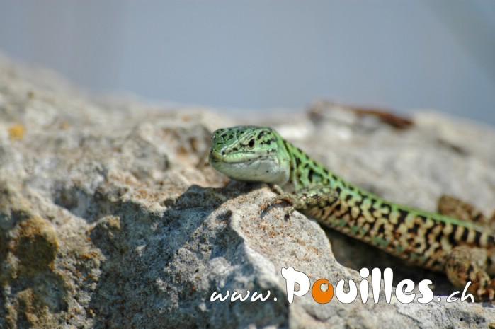 photo-pouilles_103
