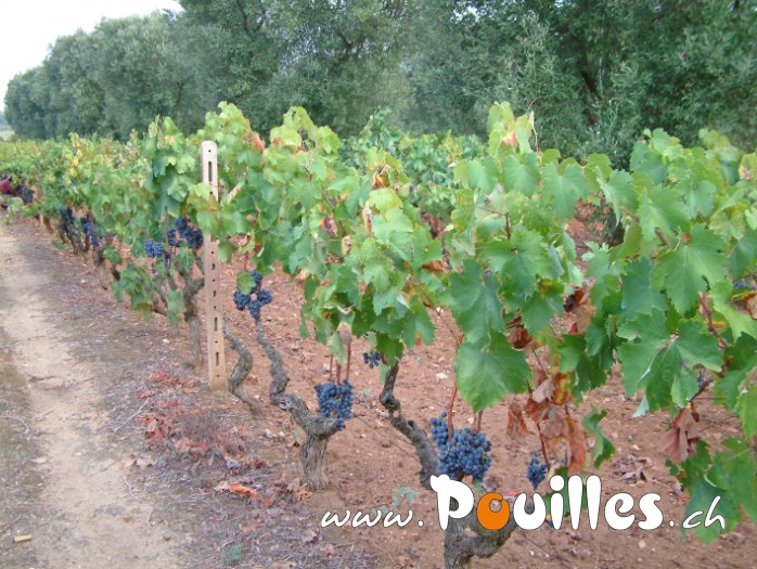 plants-de-vigne-photo-pouilles_001