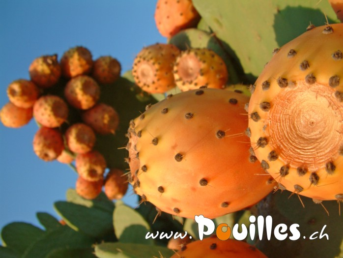 prickly-poire-photo-pouilles_005