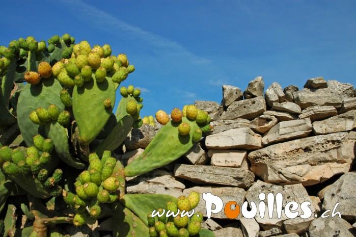 prickly-poire-photo-pouilles_019