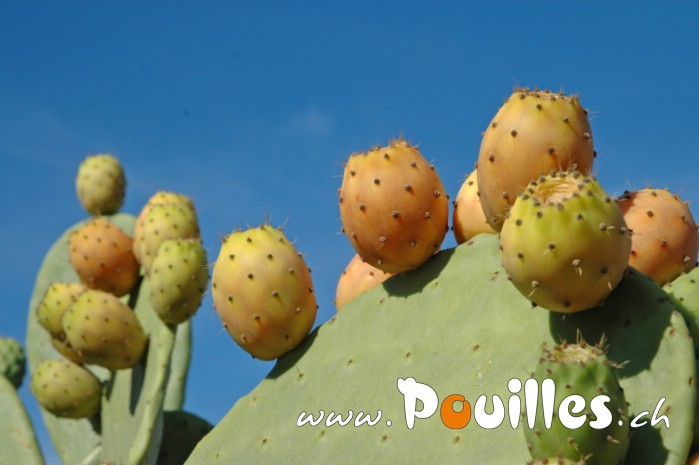 prickly-poire-photo-pouilles_020