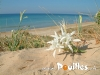 Lily-spontanee-Plage-photo-pouilles_004