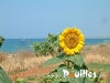 de-tournesol-photo-pouilles_164