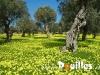 oliviers-des-fleurs-pouilles_078