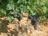 plants-de-vigne-photo-pouilles_010