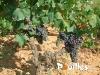 plants-de-vigne-photo-pouilles_010