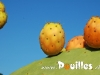 prickly-poire-photo-pouilles_021